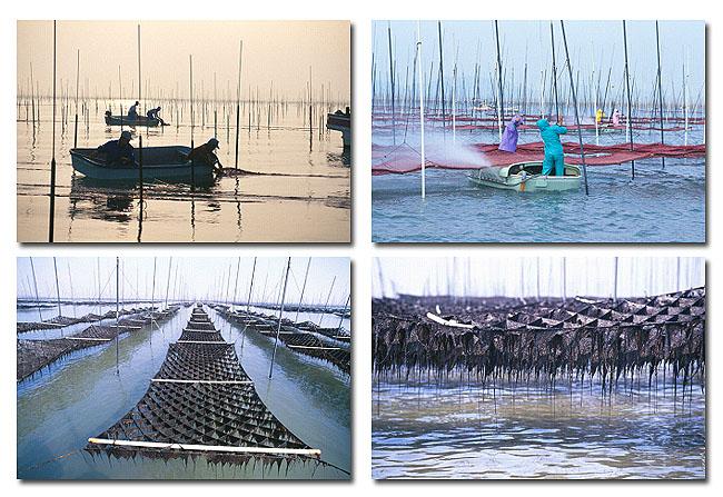 海苔生産の風景